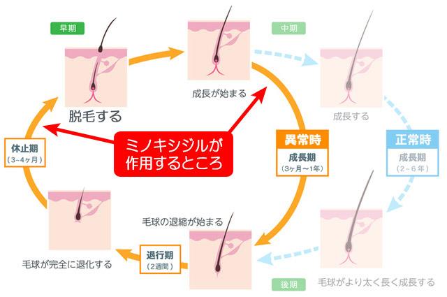 ミノキシジルの作用点
